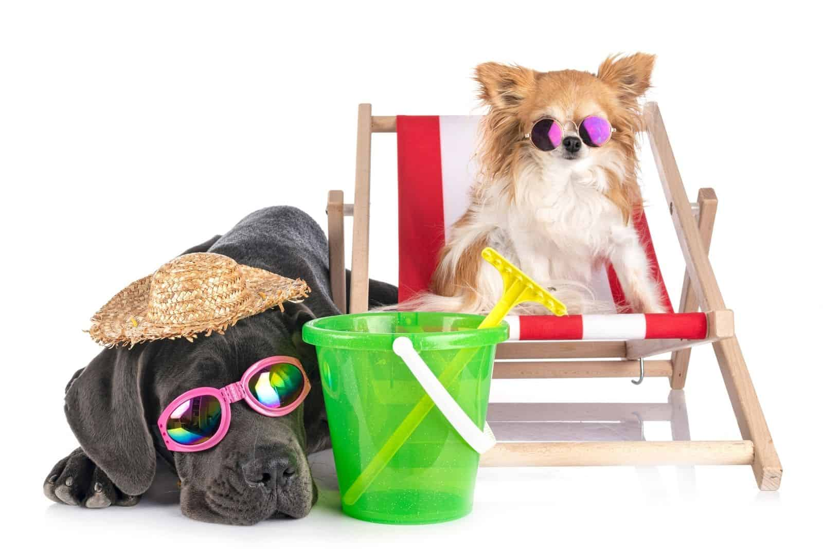puppy great dane with a chihuahua adorned with sunglasses depicting beach outdoor on white background