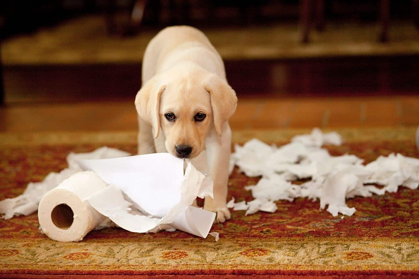 puppy labrador messing with the paper towels