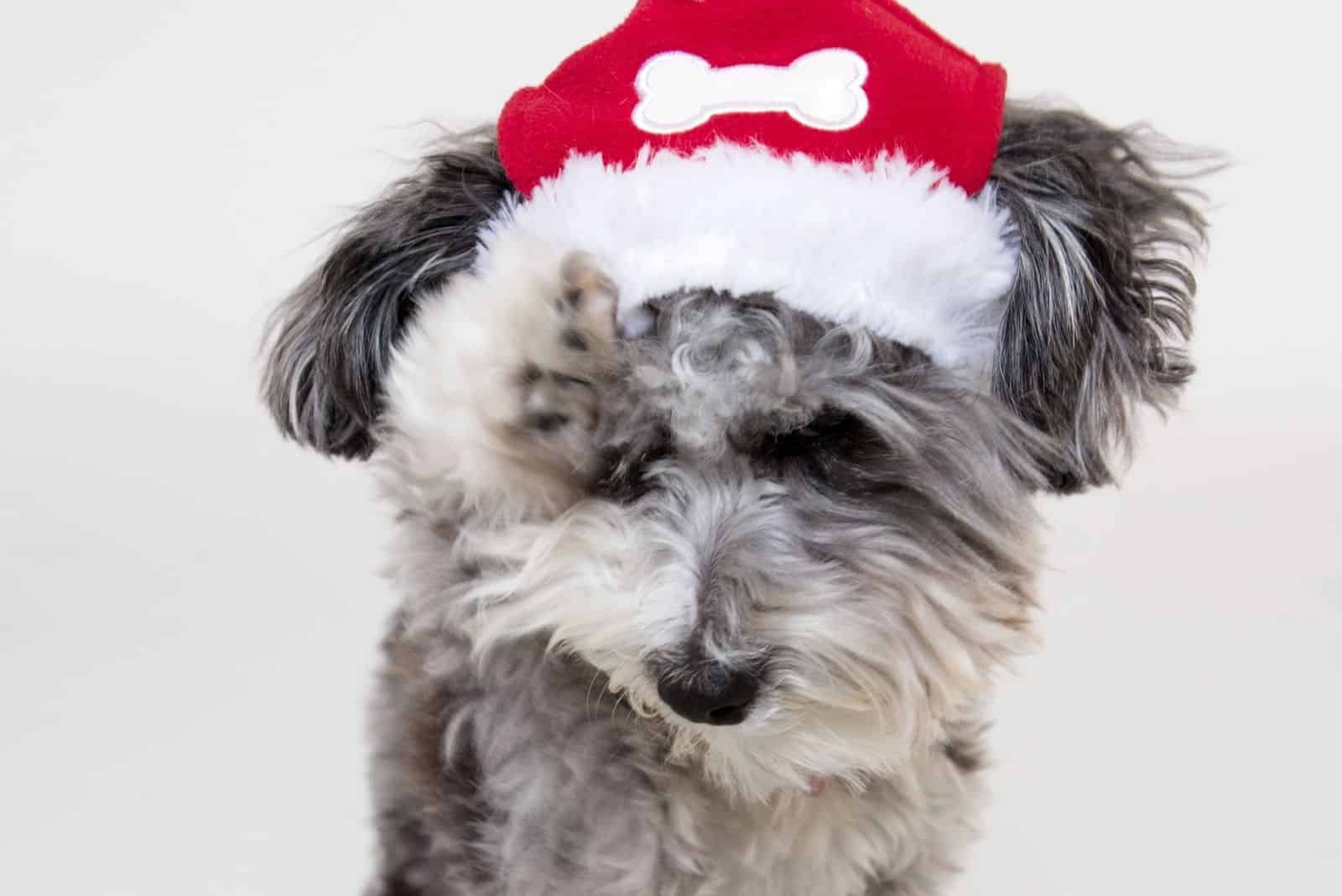 puppy merle poodle with a santa hat in close up photography