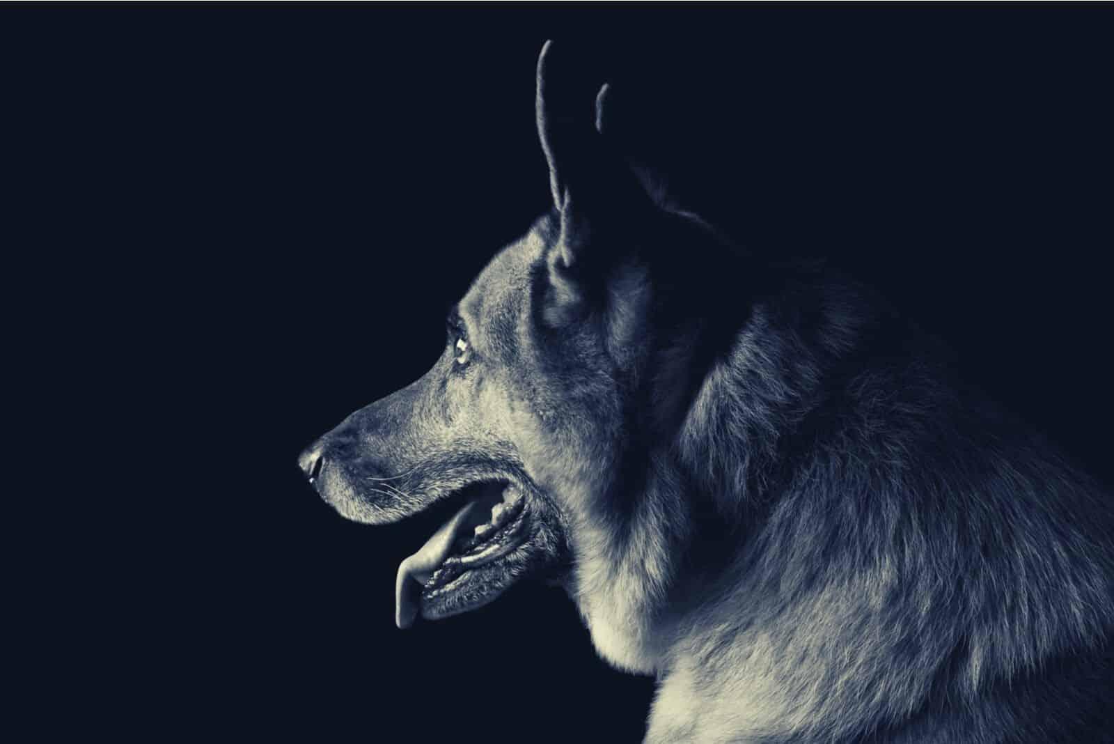 sideview of a german shepherd inside a dark room