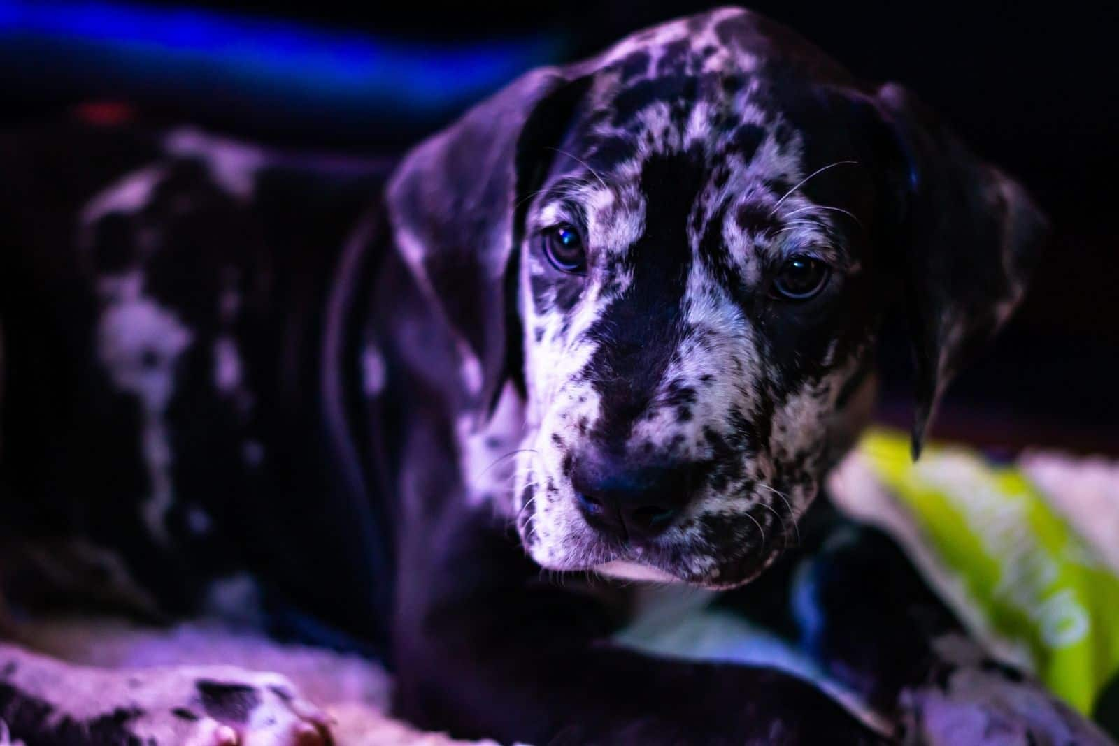 small great dane resting indoors in blue color photography