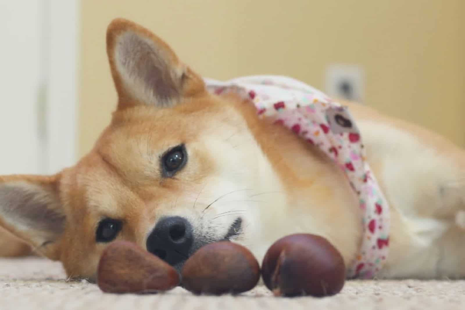 the akita inu lies and looks at the three chestnuts in front of him