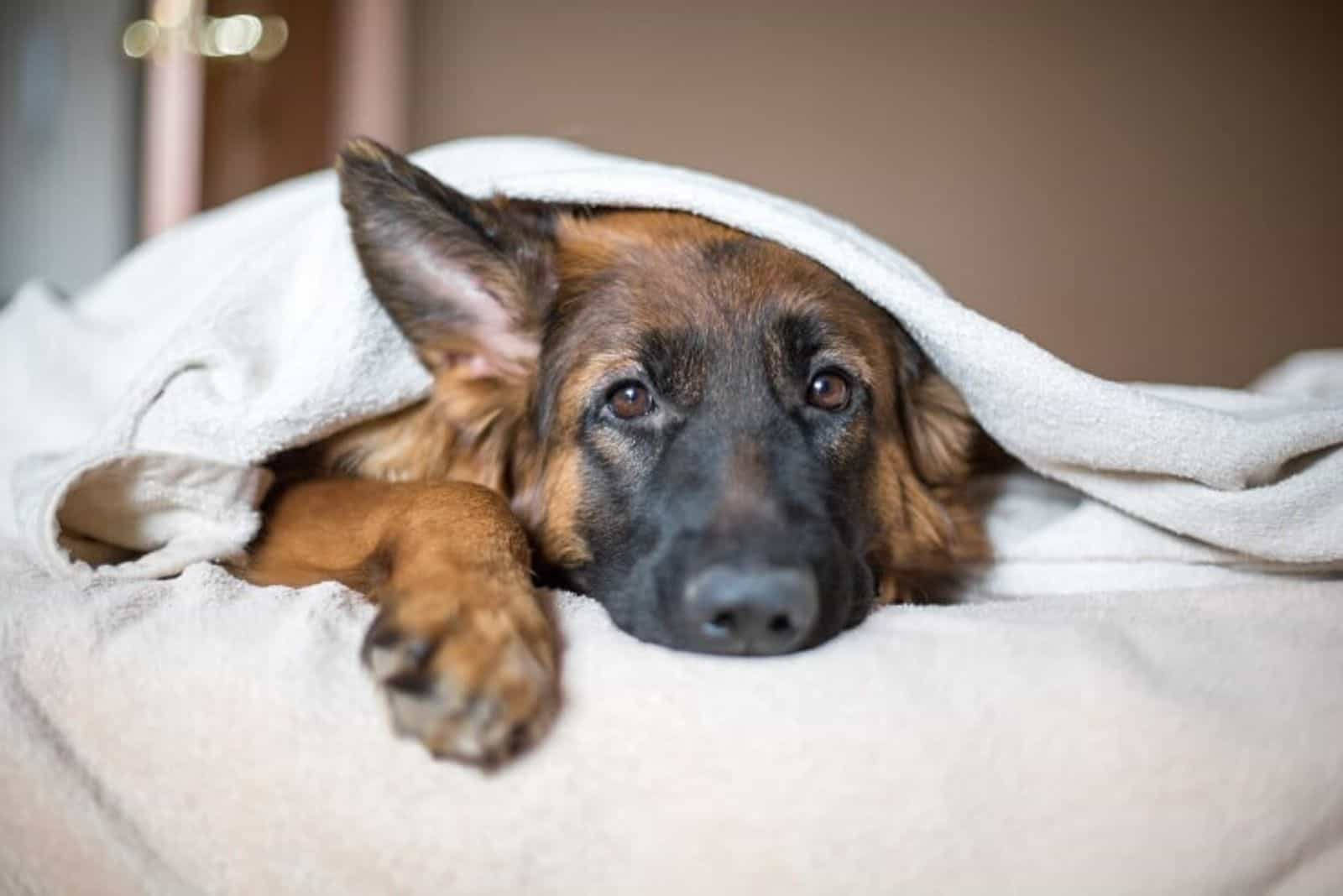 the crossbreed dog lies in bed wrapped in a white blanket