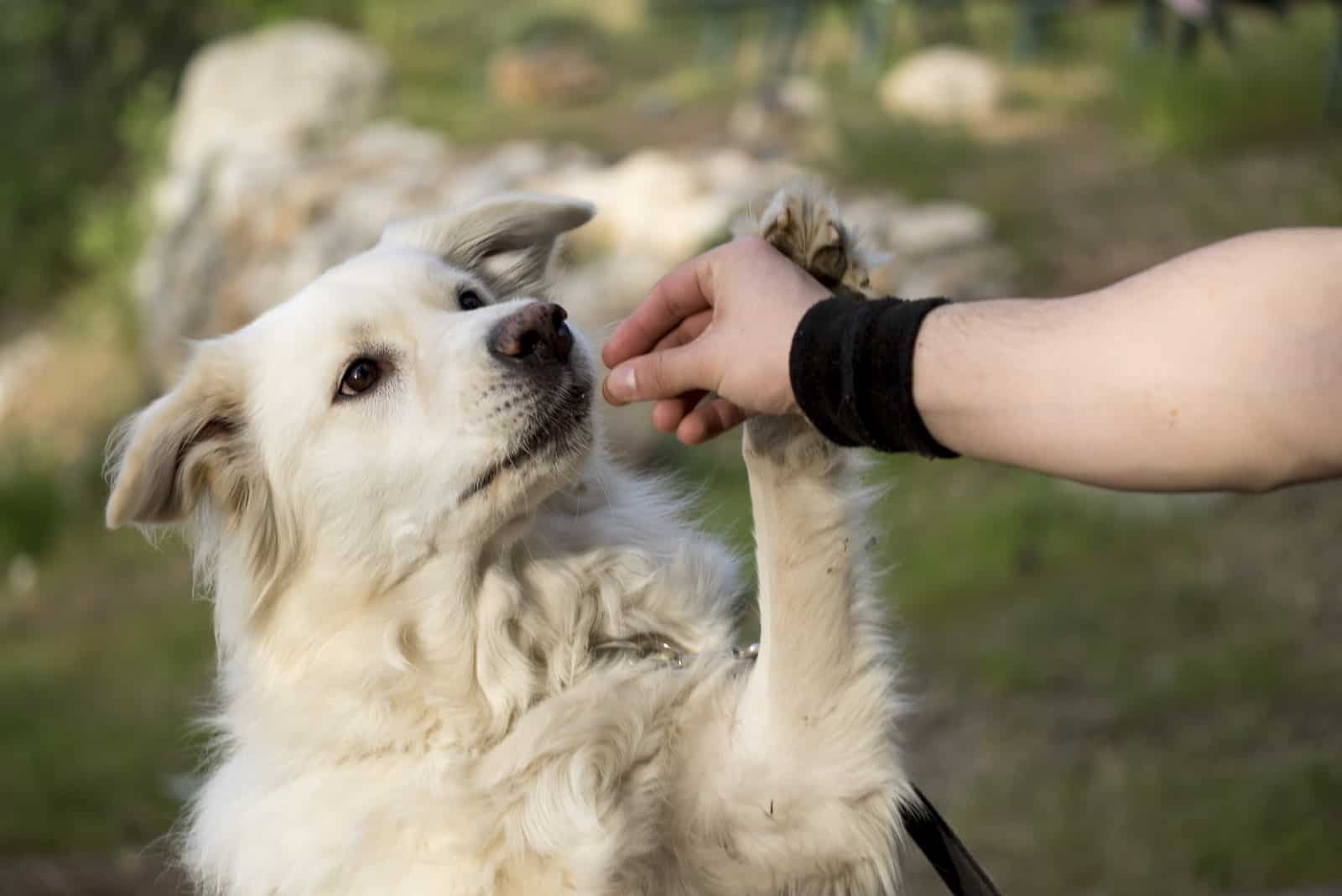 the dog eats a snack from the person's hand