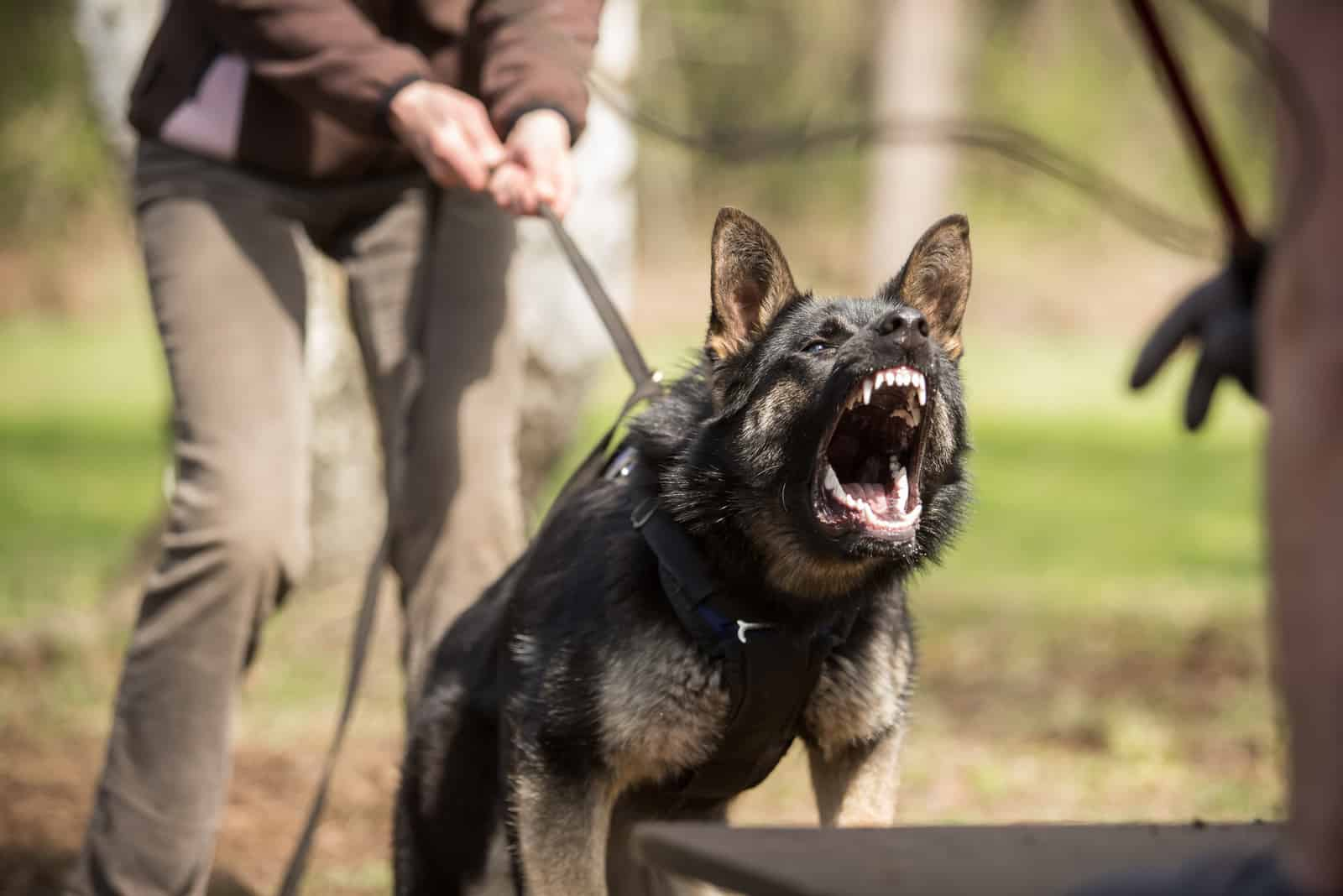 the owner trains an aggressive dog