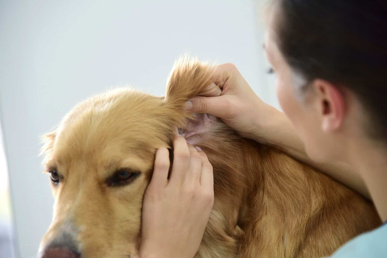 the woman examines the dog's ear