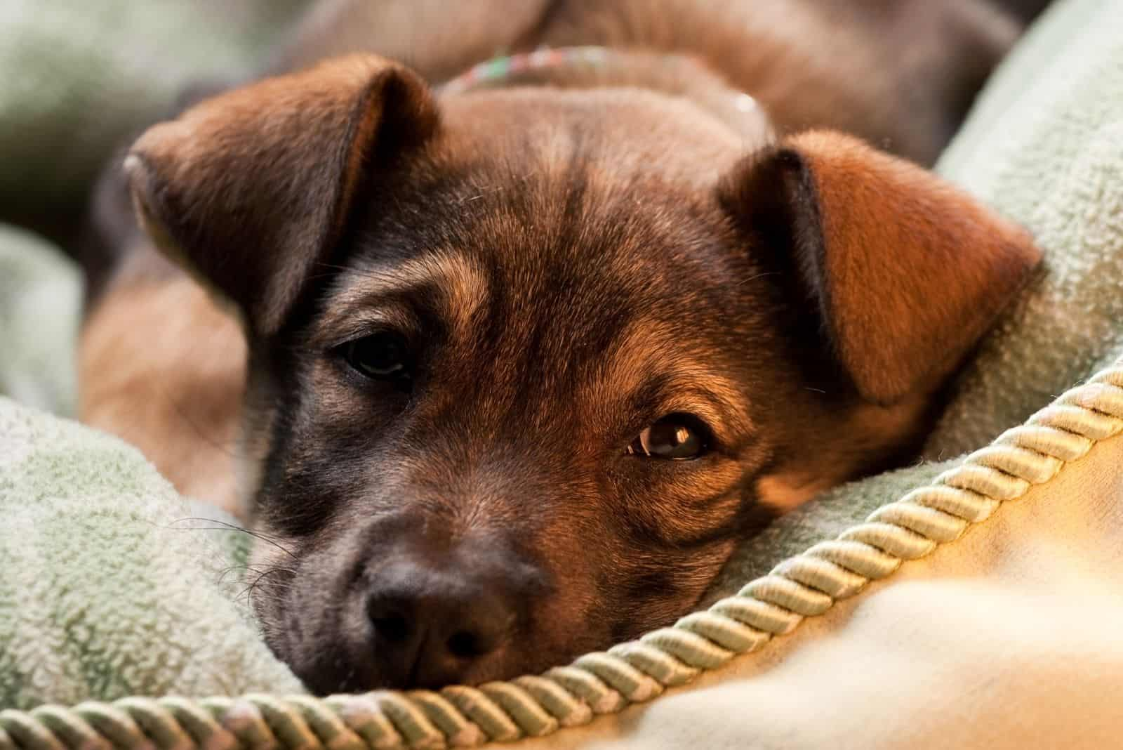 tired mastiff shepherd lying down in focus photography with a rope in front