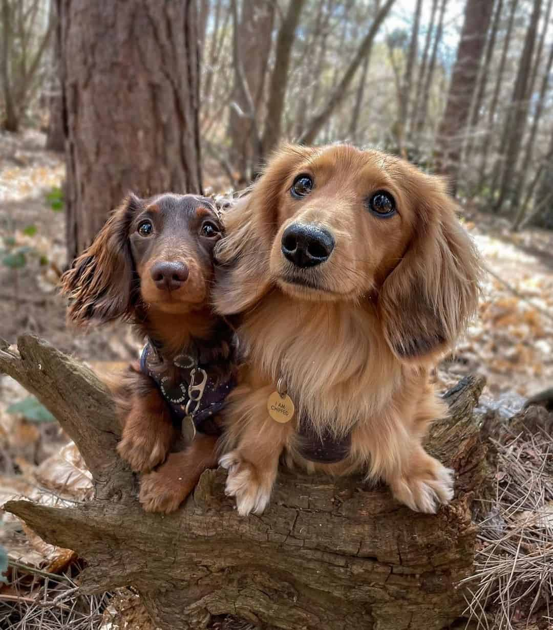 two Dachshund dogs in forest