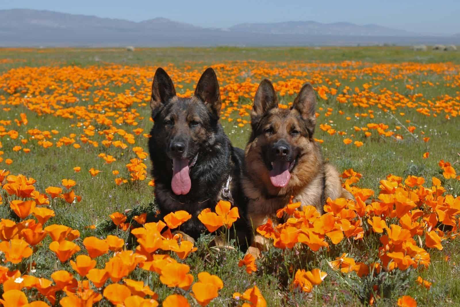 two german shepherd resting on a poppy flower fields