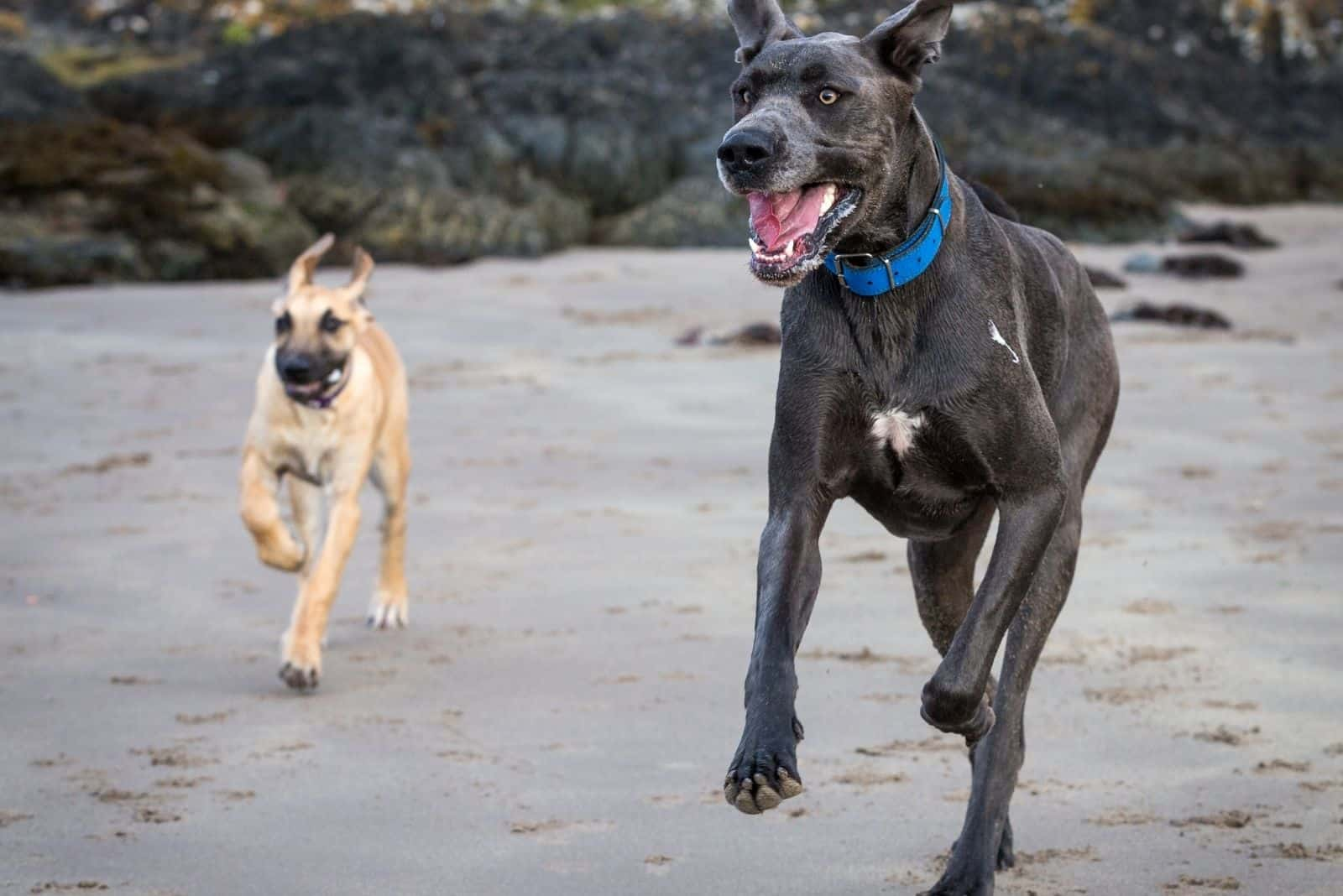 two great danes running in the beach during the day