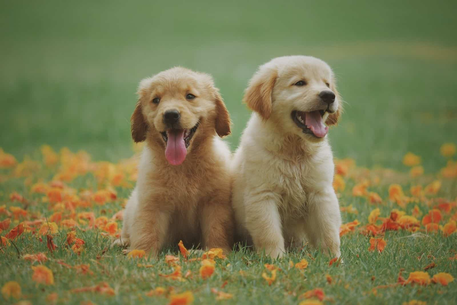 two yellow labrador sitting on the small flower field