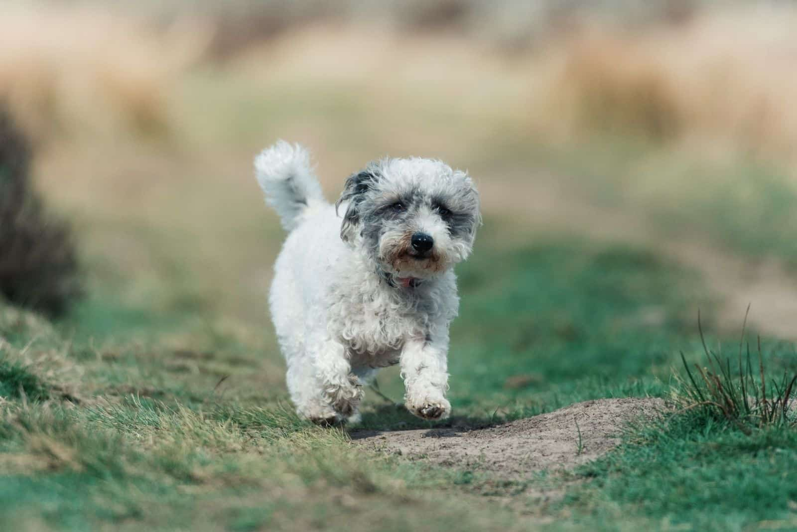 walking poodle mix breed in the summertime of UK countryside