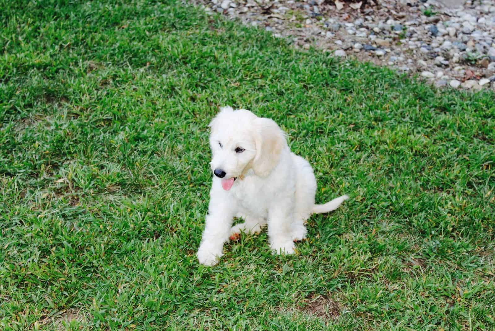 white f1 goldendoodle standing in the grass taken on high angle