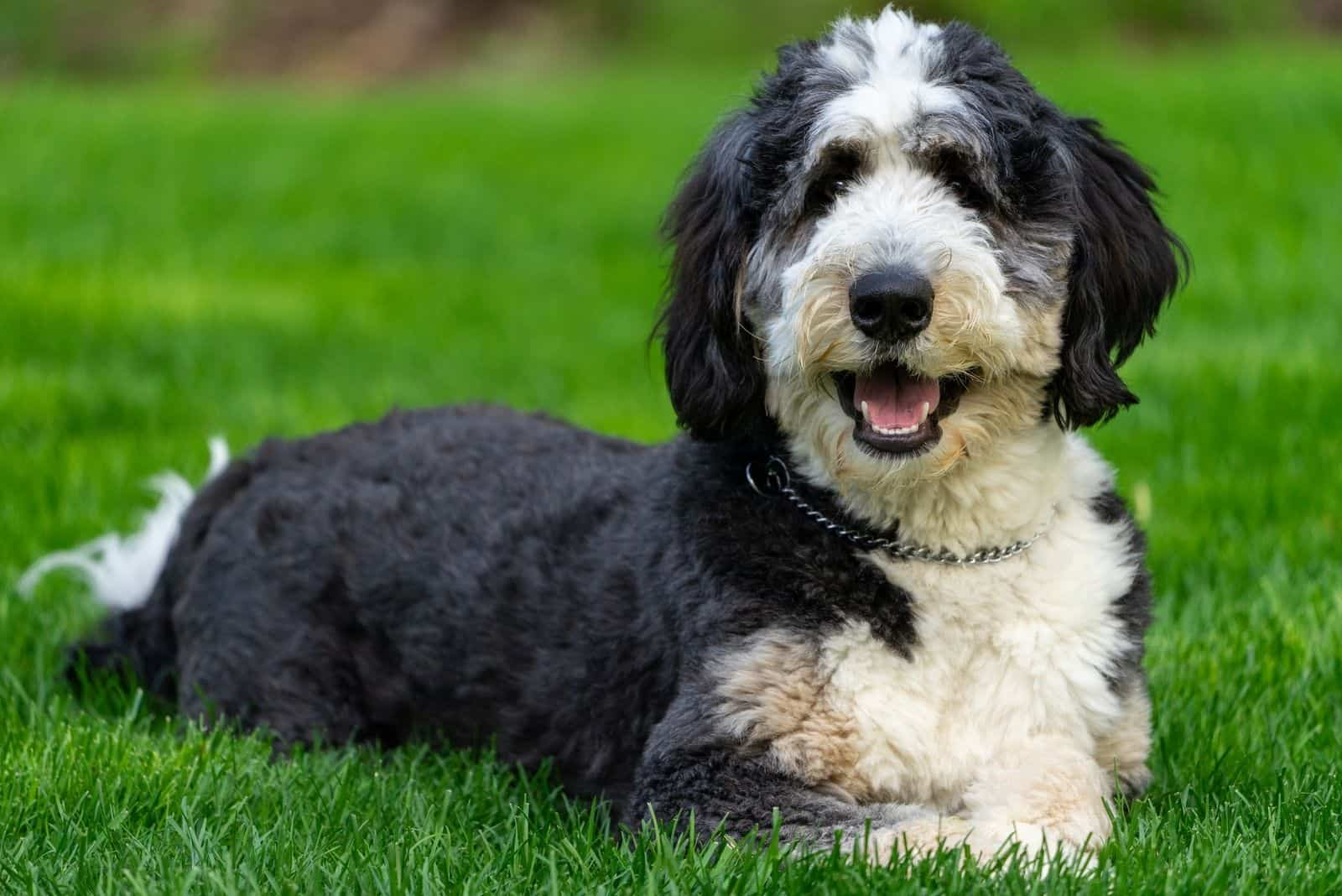 10 month old bernedoodle lying down on the grass lawn