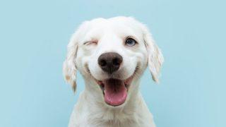 cute white dog on blue background