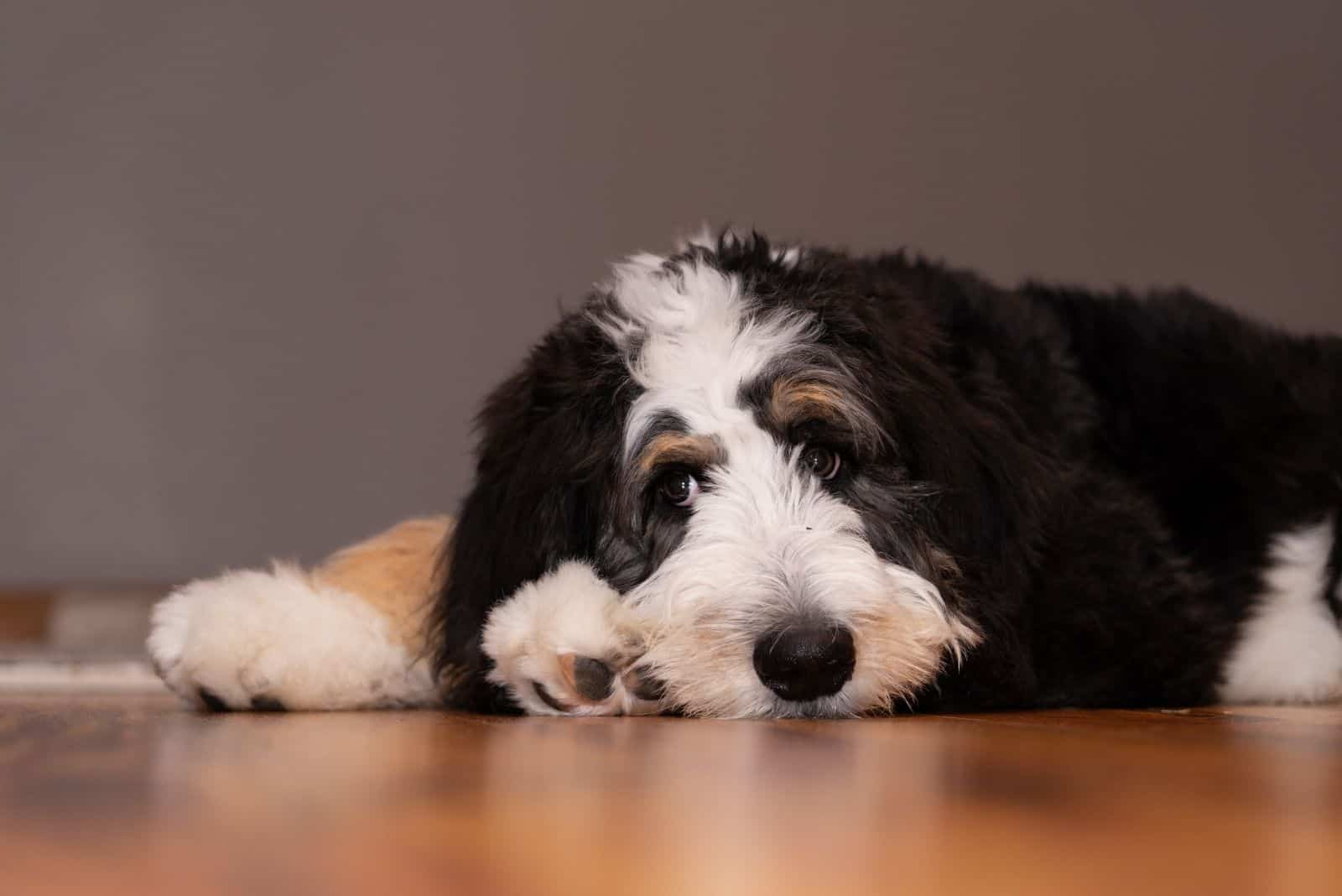 5 month old bernedoodle lying lazily on the floor