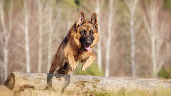 50+ German Shepherd Quotes: Dog Quotes You Forgot You Knew