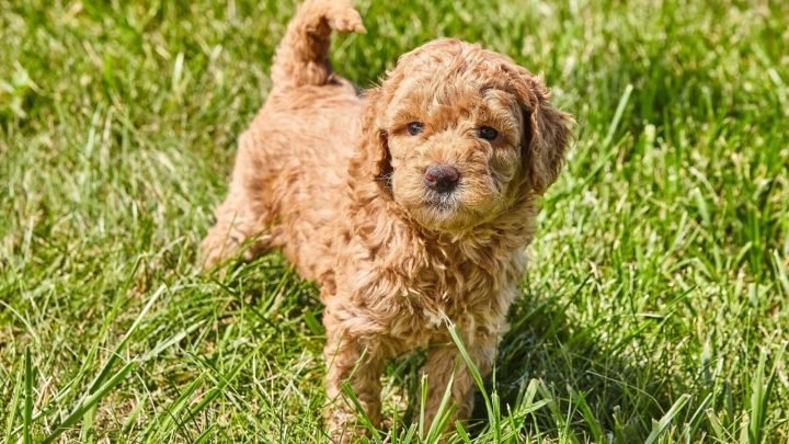 All About F1 Mini Goldendoodles – The Differences In Generations