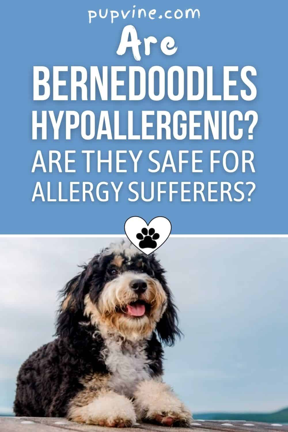 Are Bernedoodles Hypoallergenic? Are They Safe For Allergy Sufferers?