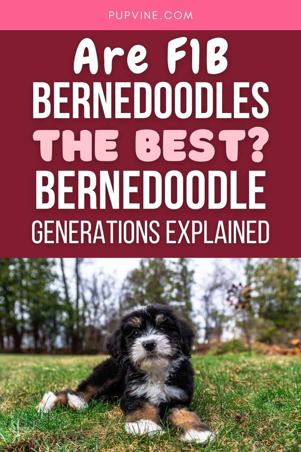 Are F1B Bernedoodles The Best? Bernedoodle Generations Explained
