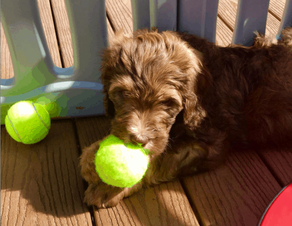 Bernedoodle holding a ball