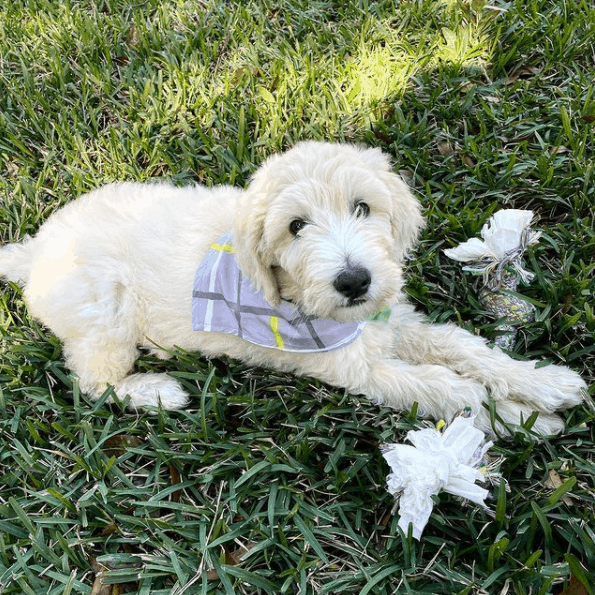 Cream Goldendoodle on grass