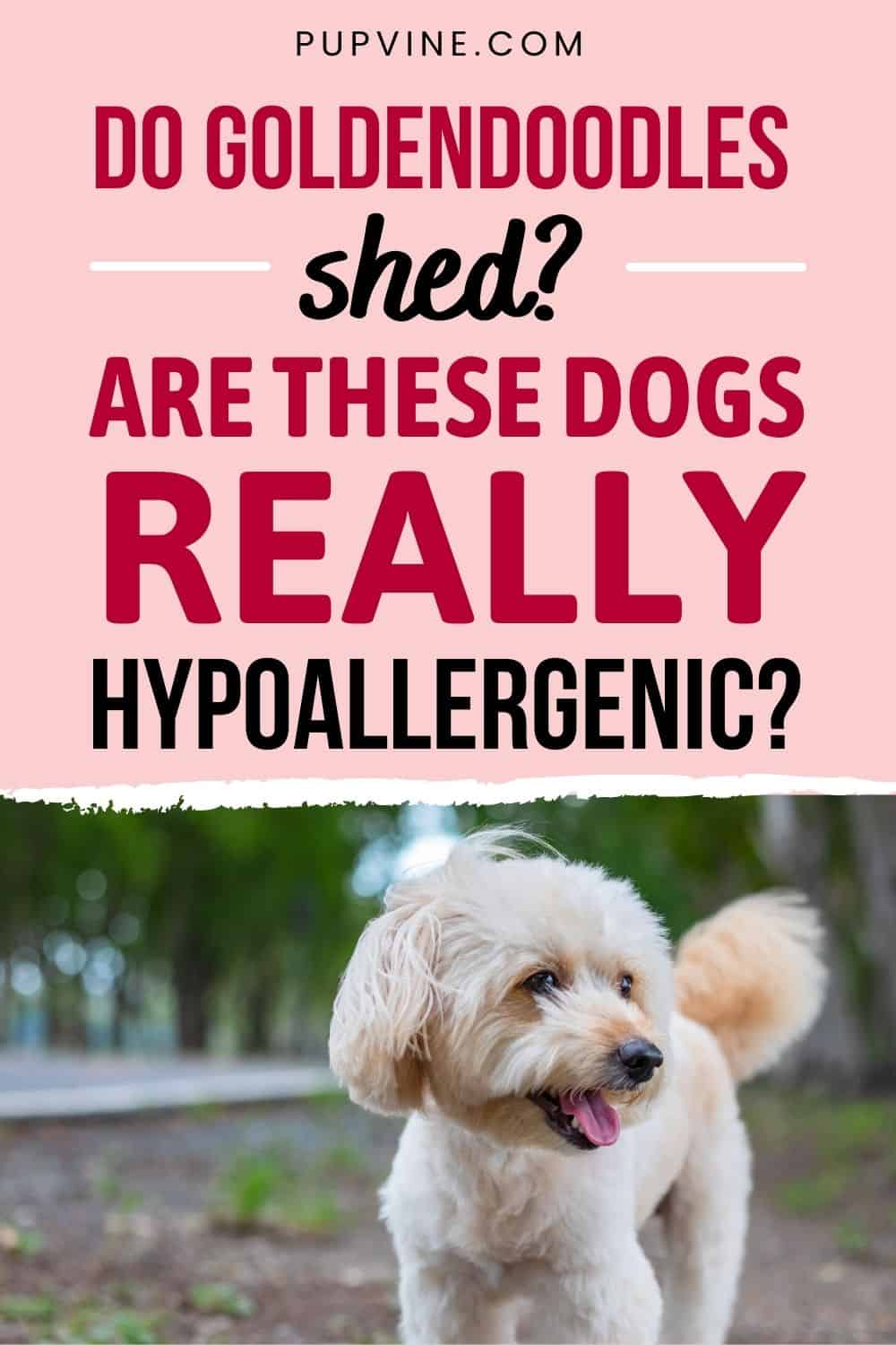 Do Goldendoodles Shed Are These Dogs Really Hypoallergenic
