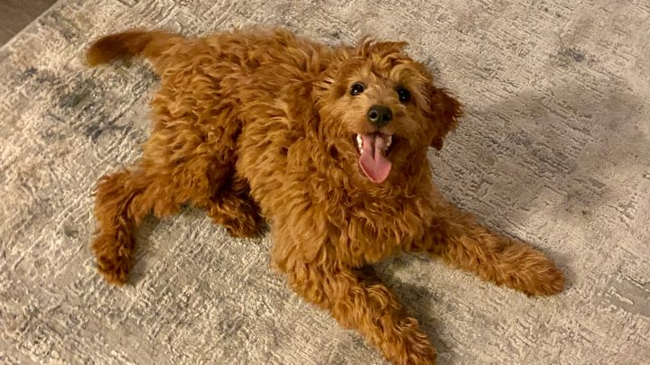 Do Goldendoodles Shed? Are These Dogs Really Hypoallergenic?