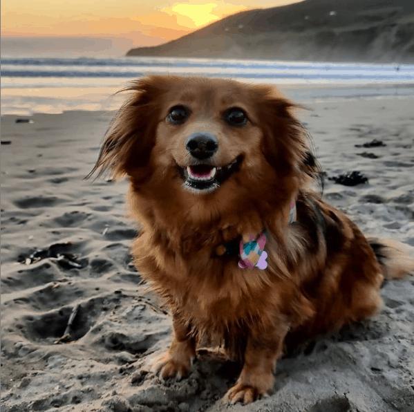 Dorgi on the beach