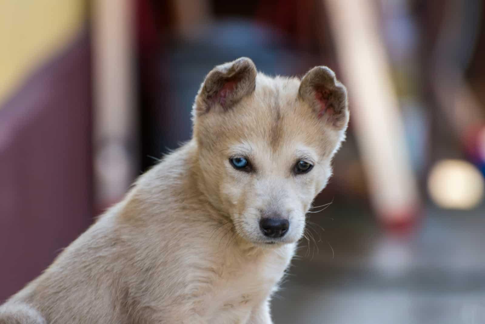 Gerberian shepsky 2 months old puppy