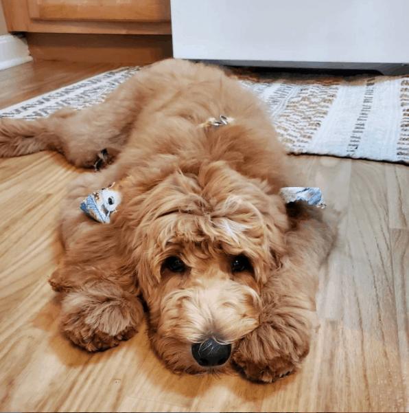 Goldendoodle lying on floor