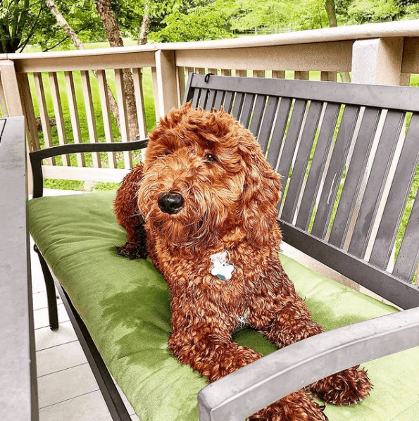 Goldendoodle sitting on chair