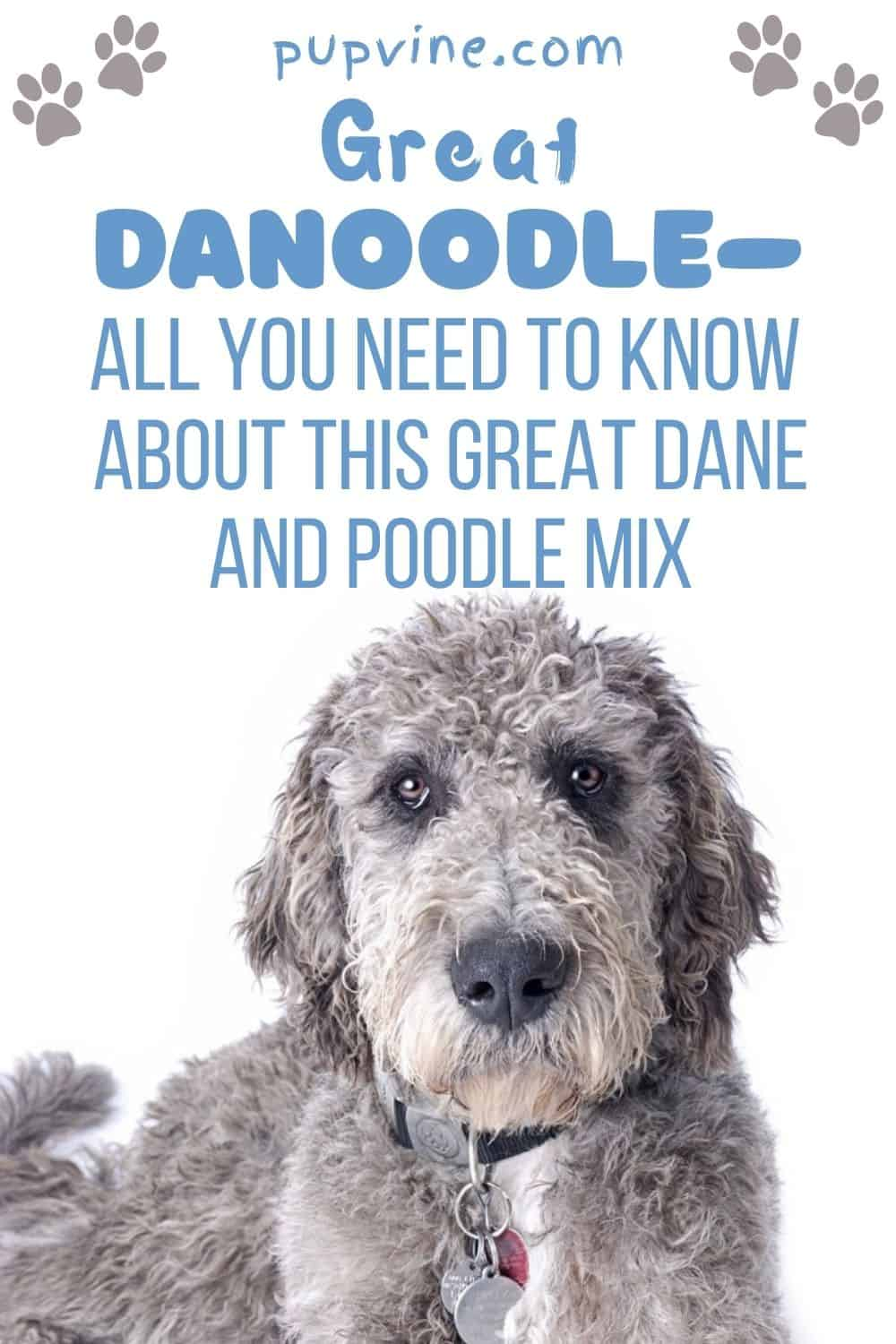 Great Danoodle – All You Need To Know About This Great Dane And Poodle Mix