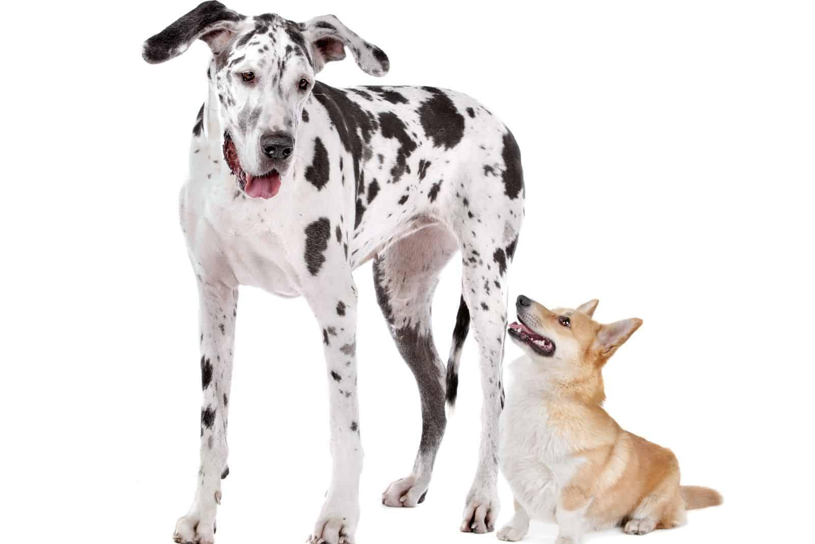 harlequin great dane and a pembroke welsh corgi dog in white background