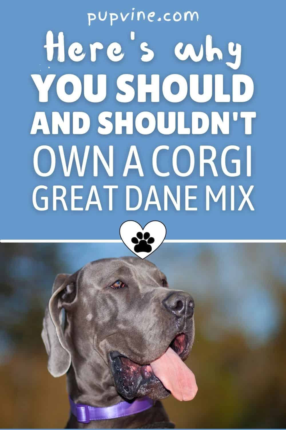 Here's Why You Should And Shouldn't Own A Corgi Great Dane Mix