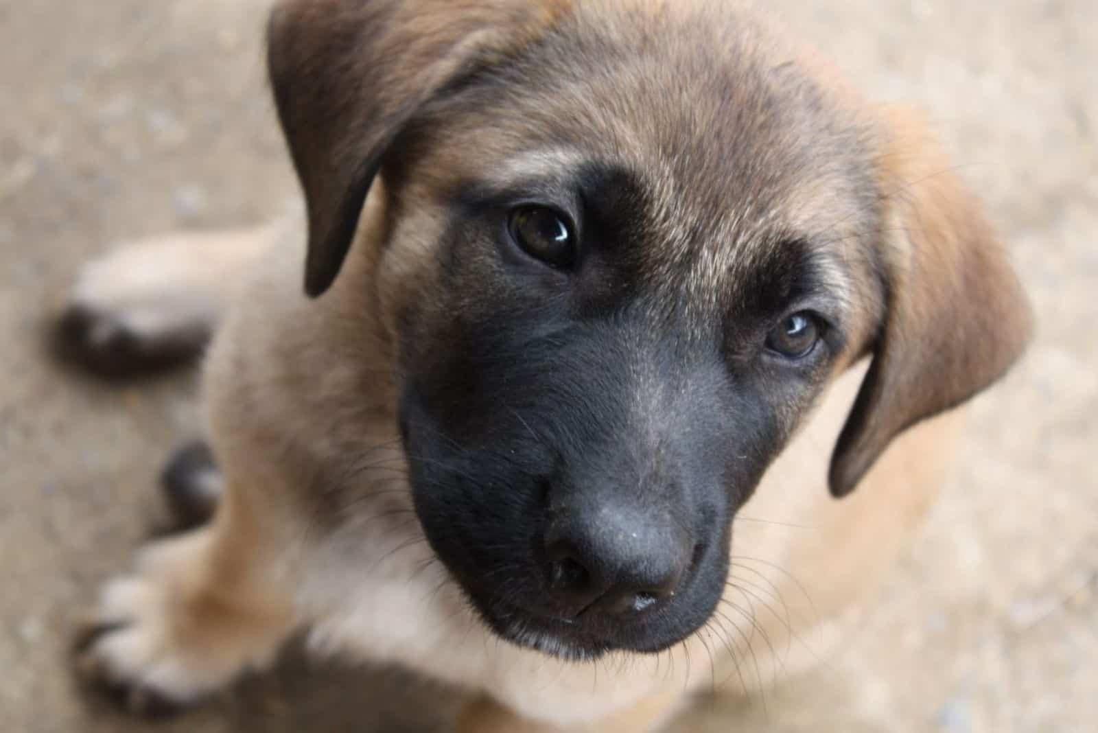 Mastiff Shepherd