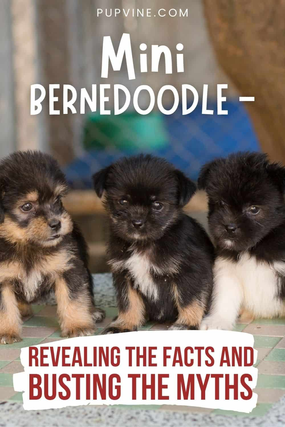 Mini Bernedoodle - Revealing The Facts And Busting The Myths