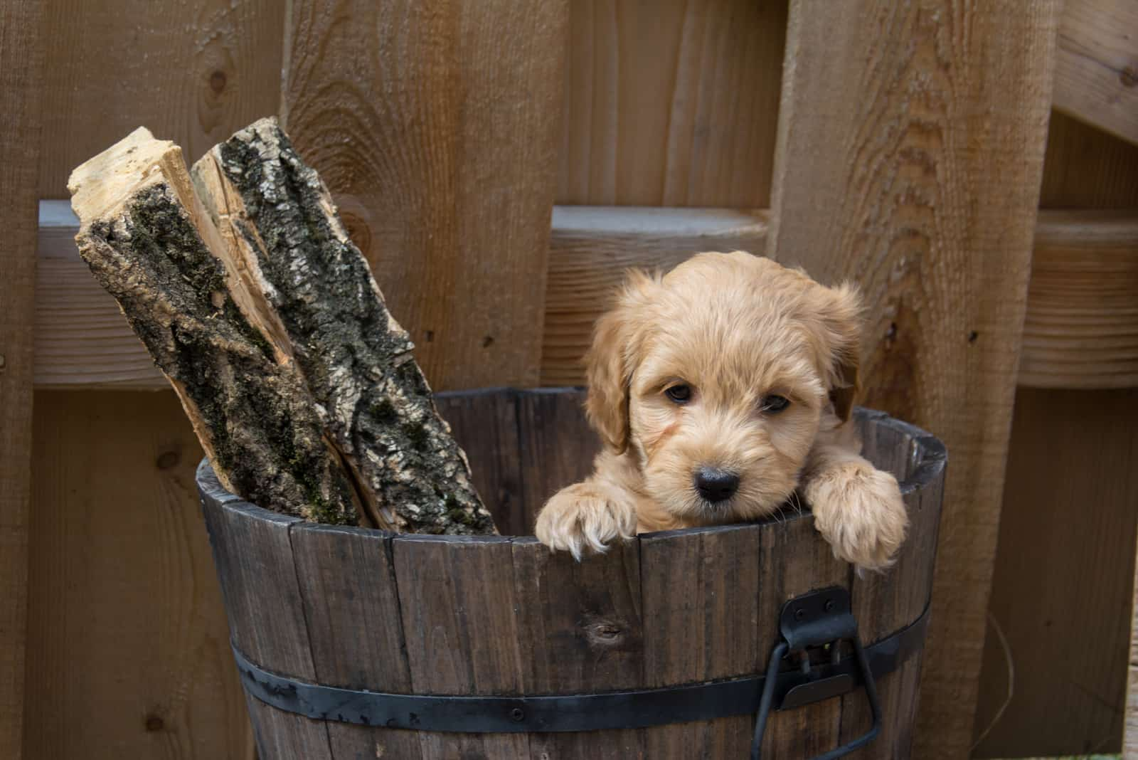 Mini Goldendoodle puppy in a bucket with logs