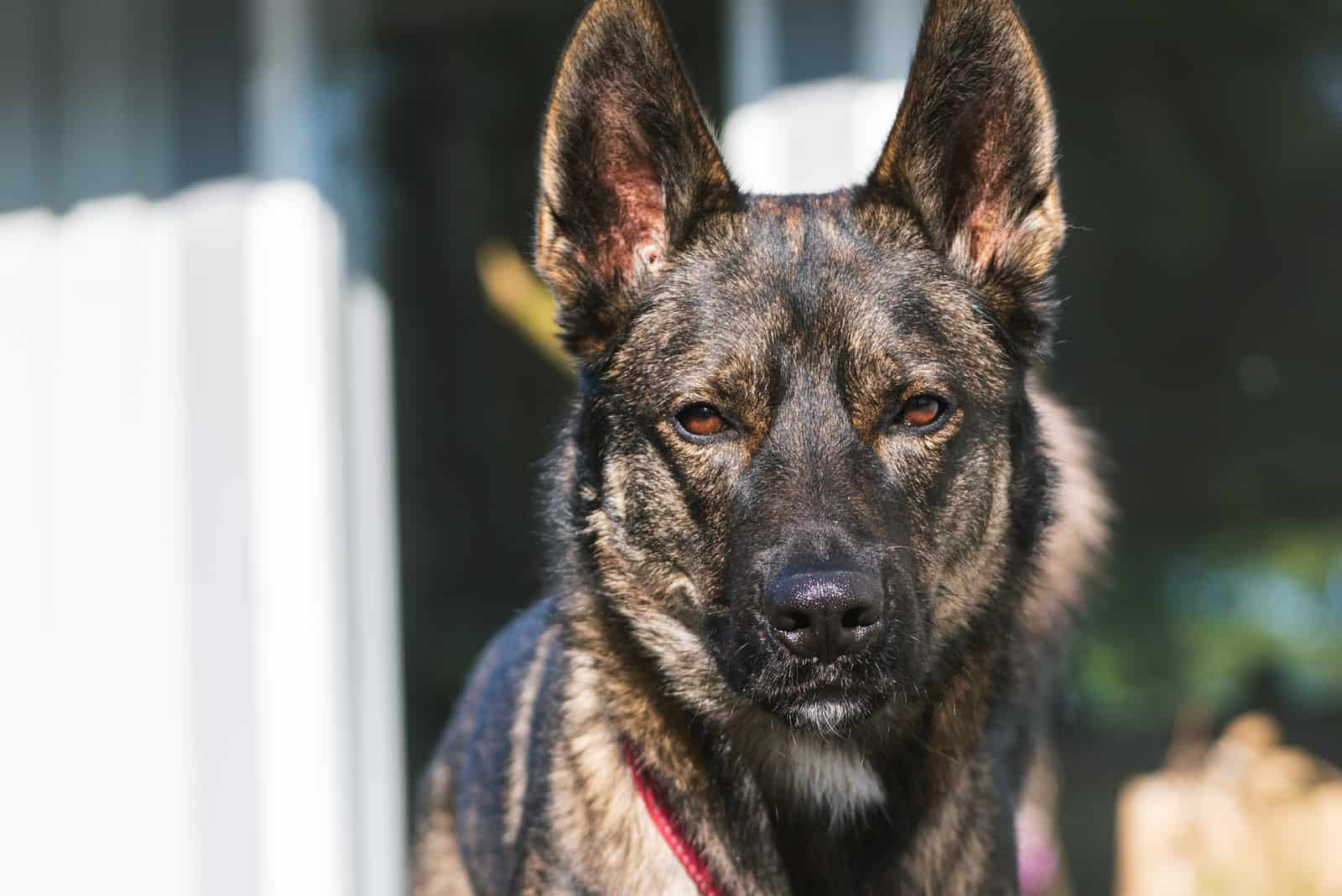 Portrait husky shepherd