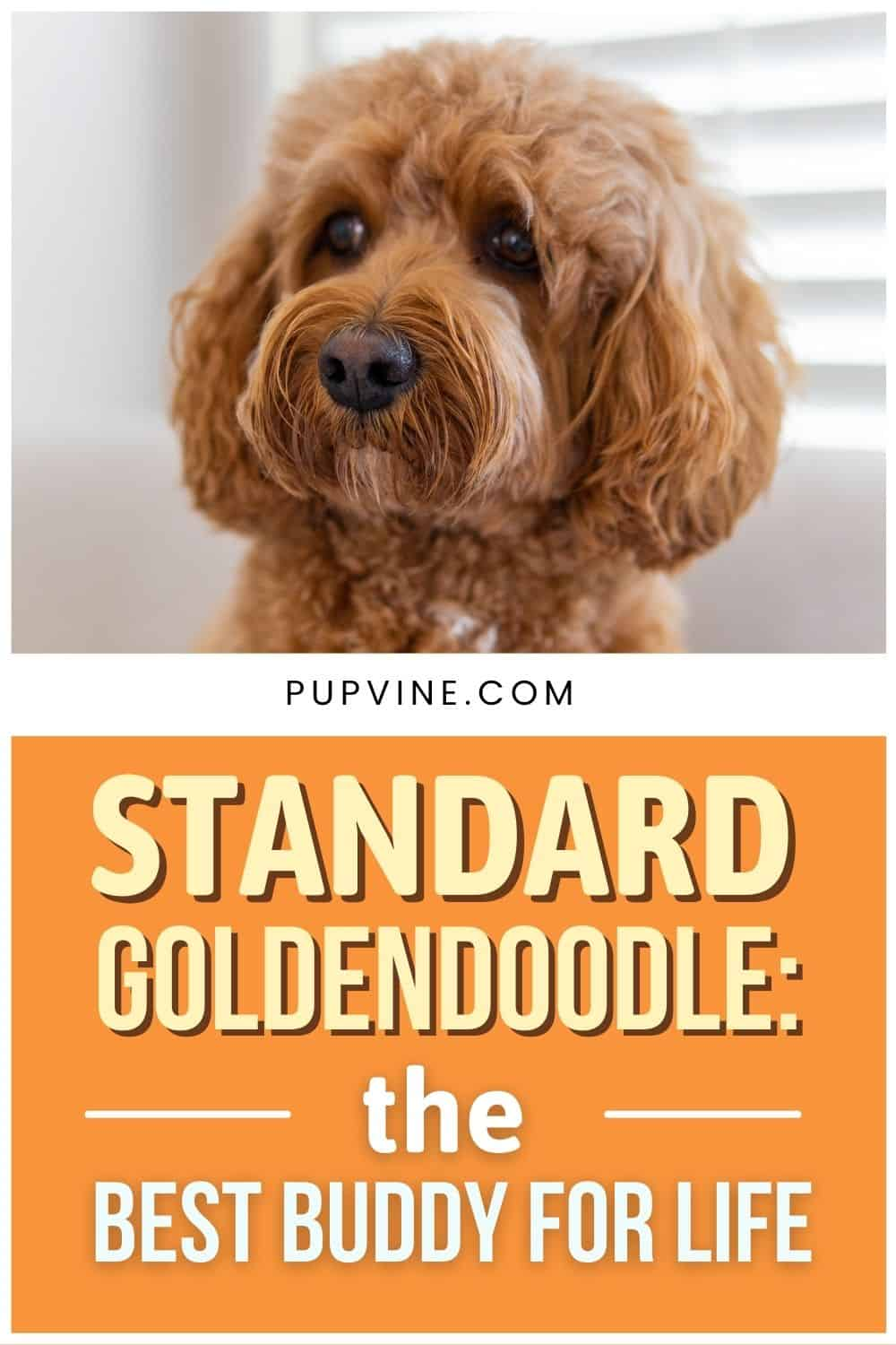 Standard Goldendoodle The Best Buddy For Life