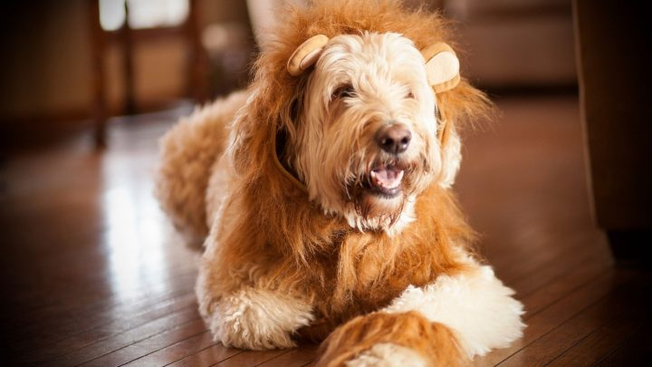 Standard Goldendoodle: The Best Buddy For Life