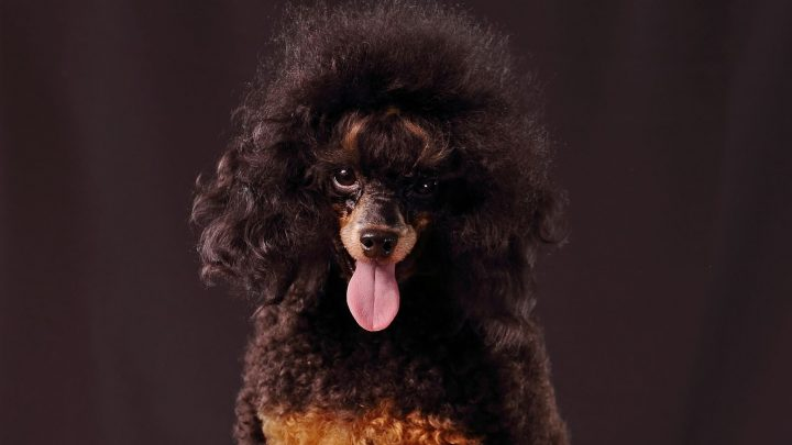 Standard Phantom Poodle Colors – Why Are These Dogs So Rare?