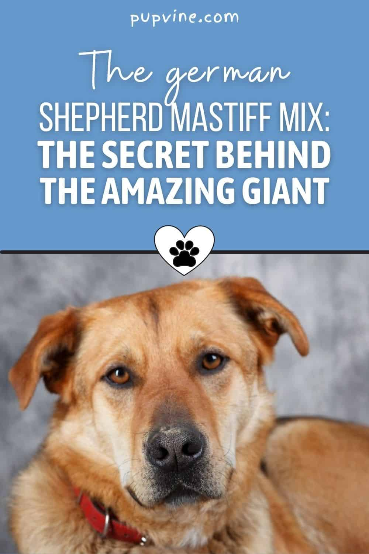 The German Shepherd Mastiff Mix: The Secret Behind The Amazing Giant