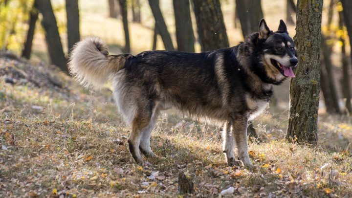 The German Shepherd Husky Mix: A Cool Dog With A Cool Name