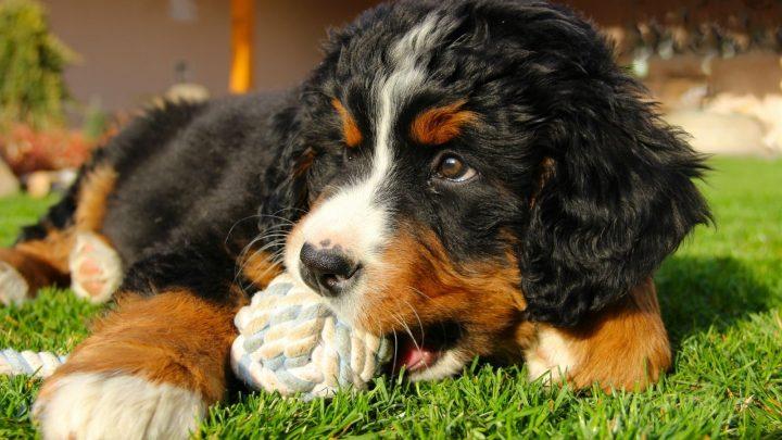 The Mini Bernese Mountain Dog: Shrinking A Gentle Giant