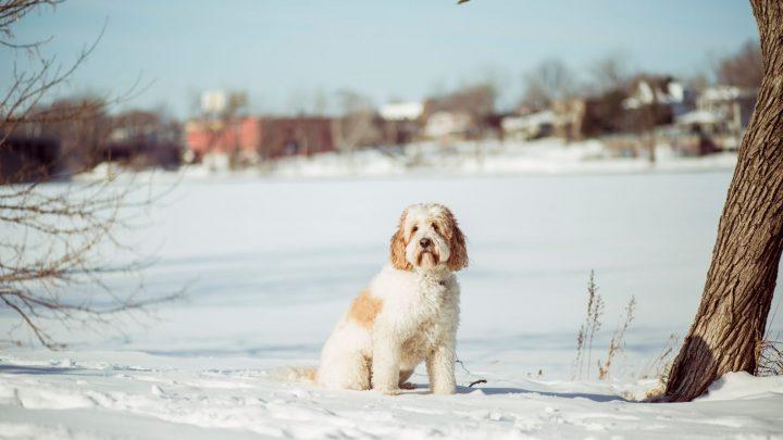 What Is A Medium Goldendoodle? Mini Vs. Medium Vs. Standard Goldendoodles