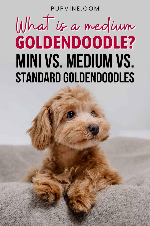 What Is A Medium Goldendoodle Mini Vs. Medium Vs. Standard Goldendoodles