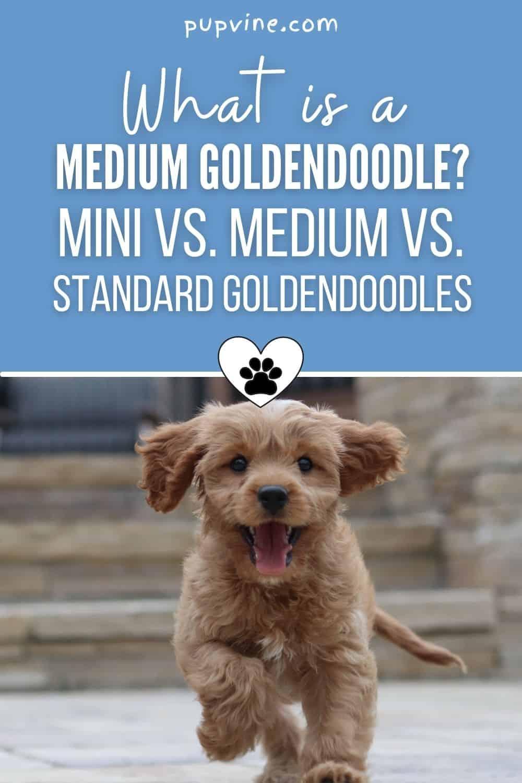 What Is A Medium Goldendoodle_ Mini Vs. Medium Vs. Standard Goldendoodles