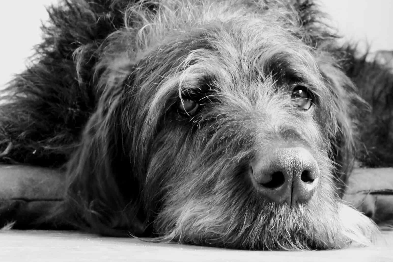 a sad-looking dog lies