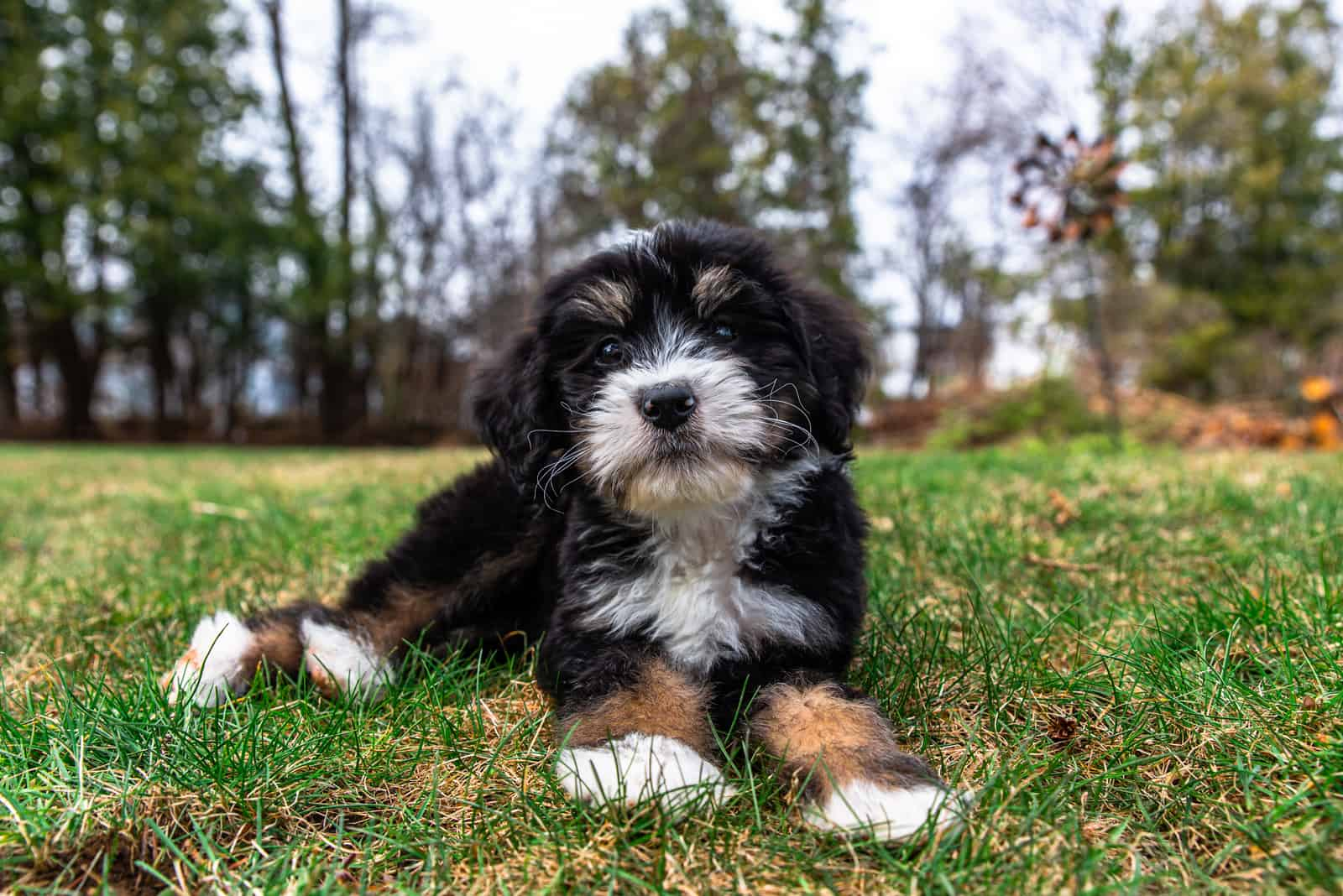 adorable Bernedoodle Puppy lying on the grass